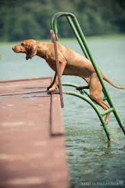 Do Hungarian Wirehaired Vizslas Shed by 155 Best Vizsla The Athletic Vizsla Images On Pinterest