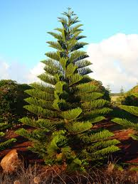 Fresh Christmas Trees Types by Buy A U201ctropical Pine U201d For Christmas To Support Local Farmers
