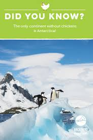 The Only Continent Without Chickens Is Antarctica! Learn More ... Backyard Chickens 101 The Moms Guide To San Diego Amazoncom Complete Beginners Lauren Diamant Are Hard Workers In Our Bnyard Every Animal We Raise Renew Pinterest Flock Has A Complex Social Hierarchy With Singular Leader Raising For Dummies Modern Farmer Sister Chicks Club House Backyard Home Cluck Central Cedar Falls Iowa Public Radio 2015 Fact Sheet Chicken Egg 141 Best Images On