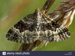 British Carpet by Common Carpet Moth Epirrhoe Alternata British Insect In The