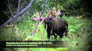 When Do Deer Shed Their Antlers Ontario by Ak Yukon Bull Moose Shedding Velvet Youtube