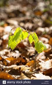 Christmas Tree Saplings For Sale Uk by Beech Tree Sapling Stock Photos U0026 Beech Tree Sapling Stock Images