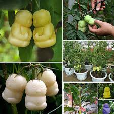 Image Is Loading 10Pcs Pack Rare Delicious Baby Ginseng Fruit Seeds