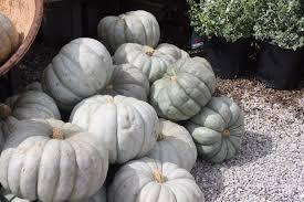 Cinderella Pumpkin Seeds Australia by Pumpkins At Stone Creek Nursery