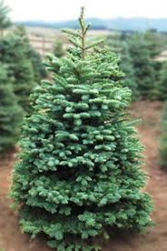 Cascade Noble Fir Old Summit Forest Products Wholesale Christmas