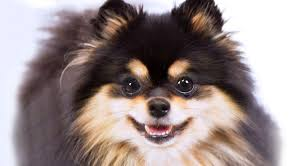 Tiny Non Shedding Dog Breeds by Pomeranian Dog Breed Information American Kennel Club