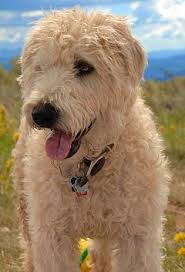 soft coated wheaten terriers good and bad traits