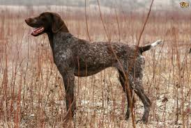 German Shorthaired Pointer Shedding by German Shorthaired Pointer Dog Breed Information Buying Advice