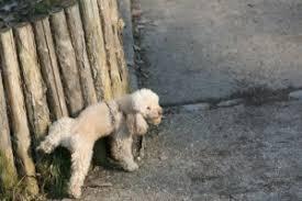 nettoyer pipi de chien sur canapé neutraliser les odeurs des déjections des chiens et chats urine