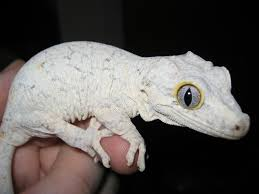 Halloween Harlequin Crested Gecko For Sale by Gargoyle Gecko Facts Habitat Diet Life Cycle Baby Pictures