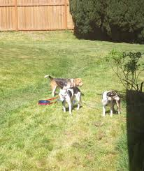 A Rant Against Walking Your Dog On An Extendable Leash Do Female Dogs Get Periods How Often And Long Does The Period Dsc3763jpg The Best Retractable Dog Leash In 2017 Top 5 Leashes Compared Please Fence Me In Westward Ho To Seattle Traing Talk Teaching Your Come When Called Steemit For Outside December Pet Collars Chains At Ace Hdware Biglarge Reviews Buyers Guide Amazoncom 10 Foot With Padded Handle For Itt A Long Term Version Of I Found A Rabbit Wat Do