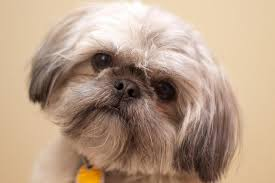 Cute Non Hypoallergenic Dogs by 5 Dog Breeds For People With Asthma And Other Allergies Petful