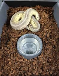 breeder tip maintaining humidity on the ball pythons on the