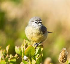 Cape Penduline Tit Sub Adult By Patrick Cardwell