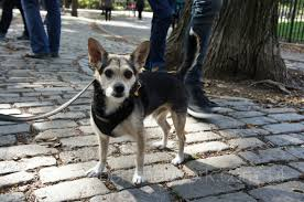 Tompkins Square Park Halloween Dog Parade 2016 by I Survived The Halloween Dog Parade Albert U0027s New York