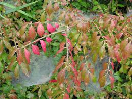 Burning Bush Insect Pests: How To Identify And Treat Bugs That Eat ... Evergreen Winter Damage Learn About Treating And Preventing Cheat With Low Tunnels Fall Leaf Burn Youtube Fire Pit Safety Maintenance Guide For Your Backyard Installit Outdoor Burning Nonagricultural Bay Leaves In The House And See What Happens After 10 Minutes Tips For Removing Poison Ivy Bush Insect Pests How To Identify Treat Bugs That Eat To Guidelines Infographic Dont Holly Hollies With Scorch Glorious Autumn My Minnesota Backyard Prairie Roots April Month Powell River Today