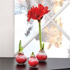 waxed amaryllis bulb gifts from jackson perkins