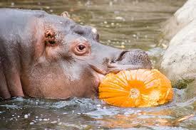Porcupine Eating A Pumpkin Youtube by Howloween Oregon Zoo