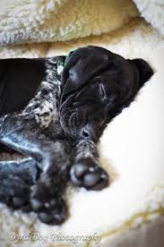 My Short Haired Dog Sheds A Lot by Best 25 Short Haired Dogs Ideas On Pinterest Pointer Puppies