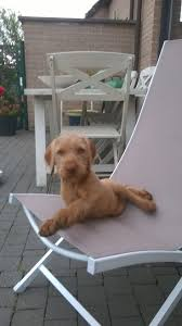 Do Hungarian Wirehaired Vizslas Shed by 57 Best Dog Images On Pinterest Hunting Dogs Wirehaired