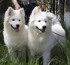 Do Samoyed Huskies Shed by To Get A Dog Or Not Get A Dog Pros And Cons Page 2