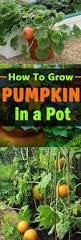 Artificial Carvable Pumpkins by Best 25 Pumpkins Ideas On Pinterest Fall Pumpkins Halloween