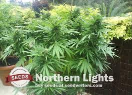 Get Northern Lights Seeds a Great Medicinal Marijuana Strain