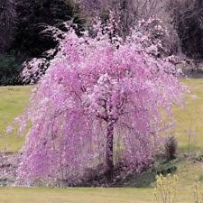 1 DWARF FOUNTAIN PINK WEEPING CHERRY TREE 12 16 INCH YARD GARDEN