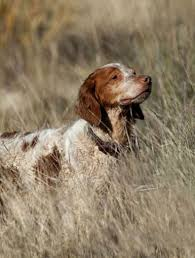 1 from gun dogs unlimited please visit hunting dogs