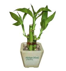 planting bamboo in a pot 4 shoot lucky bamboo plant in ceramic pot china wholesale 4 shoot
