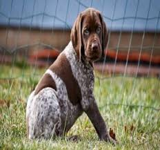 german shorthaired pointer shed german shorthaired pointer this always gets the point