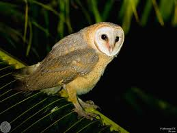 Common Barn-owl (Tyto Alba) Barn Owl- A Common City Dweller | The ... Common Barn Owl 4 Mounths In Front Of A White Background Stock Royalty Free Images Image 23603549 Known Photo 552016159 Shutterstock Owl Wikipedia 644550523 Mdc Discover Nature Tyto Alba Perched On A Falconers Arm At Daun Audubon Field Guide Mounths Lifeonwhite 10867839 Barnowl 1861 Best Owls Snowy Saw Whets Images Pinterest Photos Dreamstime