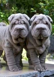 Do Shar Peis Shed Hair by The Age Old Belief That The Wrinkles Of Shar Pei Skin Are A