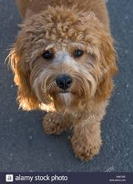 non shedding hypoallergenic hybrid dogs covapoo puppie puppy hypoallergenic light brown cavalier
