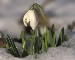 snowdrop flowers how to plant and care for snowdrops