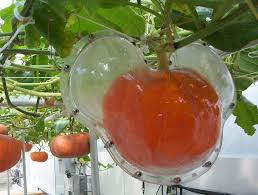 What Kinds Of Pumpkins Are Edible by Growing Shaped Pumpkins U2013 How To Grow A Pumpkin Inside A Mold