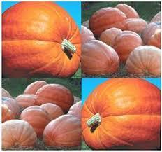 Burts Pumpkin Farm Controversy by Plants And Stones Squash And Pumpkins Anyone Pumpkins