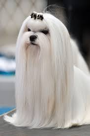Dogs That Shed Less Hair by 10 Most Popular Dog Breeds In Singapore Kohepets Blog