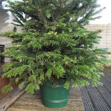 8ft Artificial Christmas Trees Uk by True Barrel 8ft Or 10ft Real Christmas Tree Stand