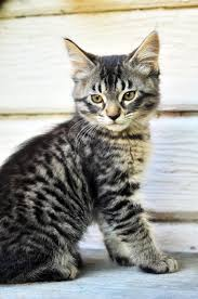 Do Maine Coons Shed In The Summer by All About Maine Coon Cats U2013 History Personality And Interesting