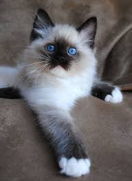 cats for best 25 birman kittens for ideas on birman cats