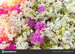 Bougainvillea Or Paper Flowers In The Garden As Colour Flower Background Photo By Thanasus