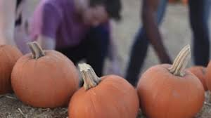 Pumpkin Patches In Oklahoma by Halloween Pumpkin Patch In Park Tecumseh Ok Stock Footage