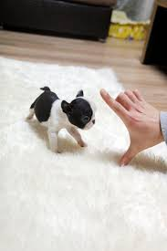 Do Pocket Puggles Shed by Best 25 Small Puppies Ideas On Pinterest Cute Small Dogs Teddy