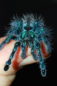 Do Tarantulas Shed Their Legs by 38 Best Tarantula Images On Pinterest Reptiles Insects And