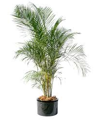 golden palm in pots areca palm golden palm non toxic garden pots containers