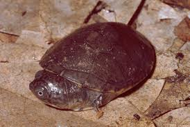 The West African Mud Turtle Pelusios Castaneus Acquired An Extinct Doppelganger From Seychelles Due To A Scientific Error Credit Mark Oliver Rodel