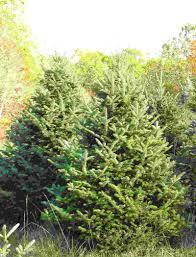 Canaan Fir Christmas Tree Needle Retention by Balsam Fir Clover Hollow Christmas Tree Farm