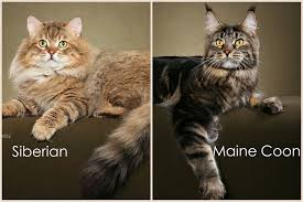 forest cat vs maine coon difference between maine coon and siberian cat maine coon