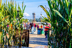 Lathrop Pumpkin Patch Maze by Dell U0027osso Family Farm Attractions In Lathrop